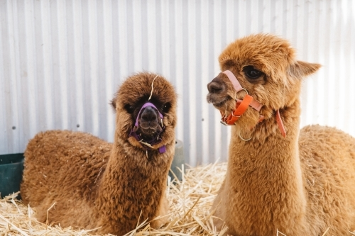 Alpacas at Country Show