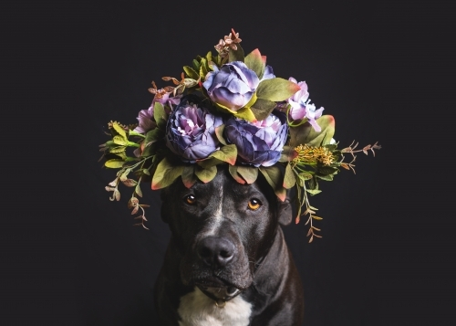 American staffy with flower crown on black background