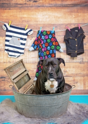 Amstaff dog doing the washing
