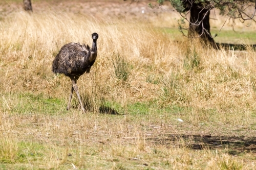 An emu standing amongst grass and trees
