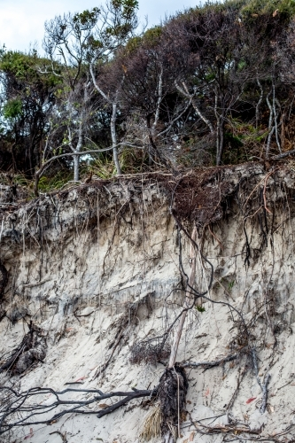 An eroded sand bank shows the roots of native plants