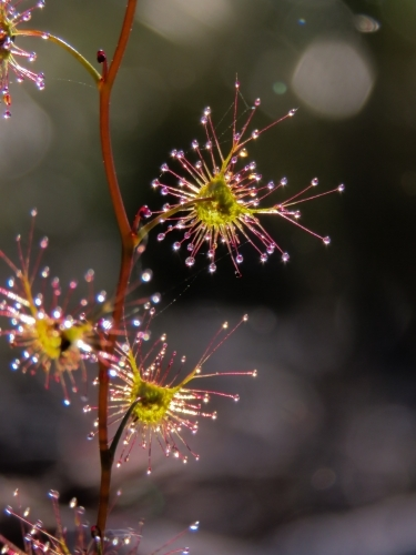 An upright sundew's sticky droplets glisten in early light