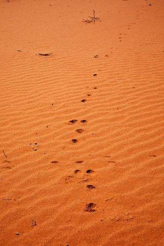 animal tracks through rippled red sand