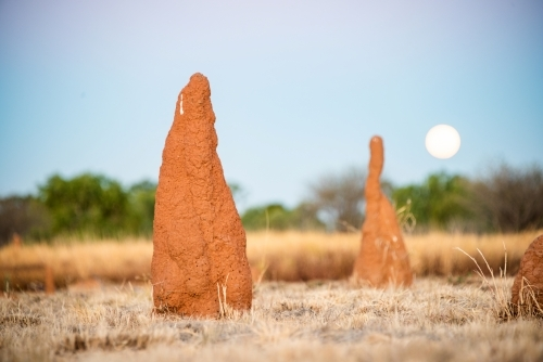 Ant hills in the outback with the rising moon behind at sunset