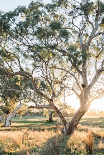Afternoon light shines through eucalypts trees by a creek