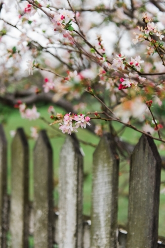 blossoms growing over old wooden fence