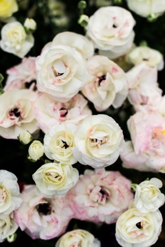 Bunch of pink and white ranunculus flowers