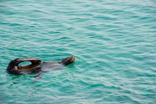 Australian Fur Seal floating on the turquoise water