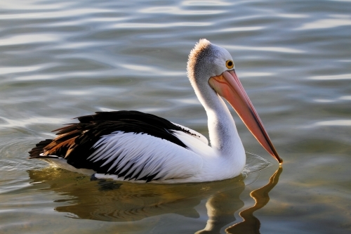 Australian Pelican paddles along the Maroochy River.