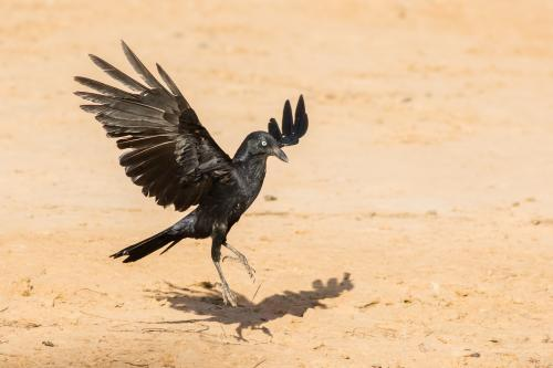 Australian Raven Landing on Outback Soil