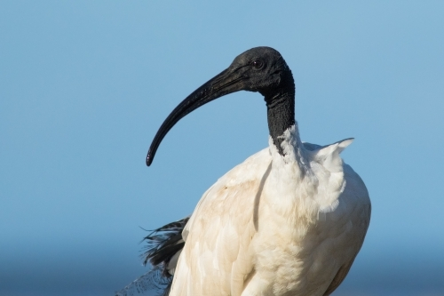 Australian White Ibis standing against a blue sky