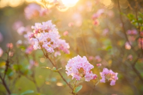 Pink crepe myrtle flowers blossum in golden afternoon light