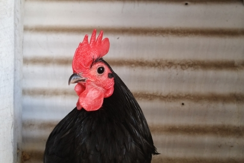Australorp Chook at country show