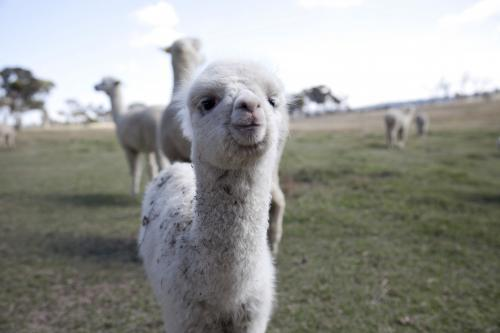 Baby alpaca closeup on the farm