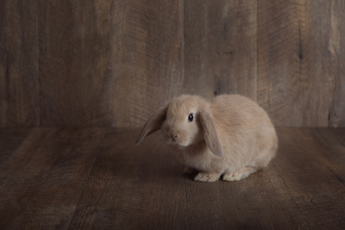 Baby Lop Eared Rabbit On a Wooden Backdrop Looking at Camera