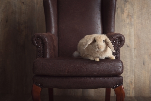Baby Lop Eared Rabbit Sitting on a Brown Chair