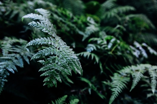 Background of deep green fern leaves in the rainforest in autumn