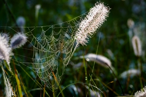 Backlit, dew covered spider's web on pretty pink seed head