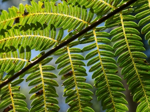 Backlit fern frond with sori contrasted against blue sky