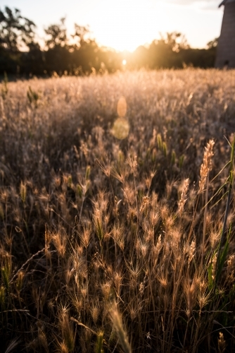 Backlit grass in the sun