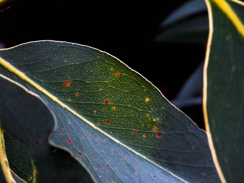 Backlit gumleaf with yellow and red age spots