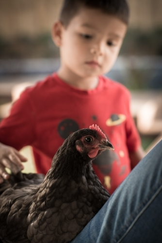 Cute mixed race boy plays with his chook in a suburban backyard