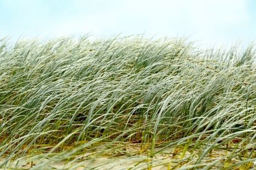 Beach dune grasses waving in the wind at Yamba