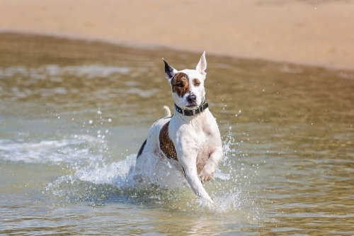 Beach Fun dog running through water