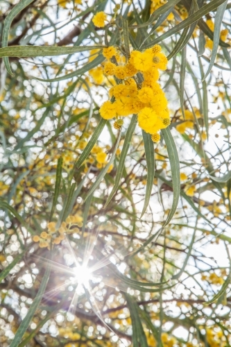 Beautiful blossoms of golden wattle with silver sun flare shining through