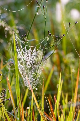 Beautiful dew covered spider's web sparkling in the early morning light