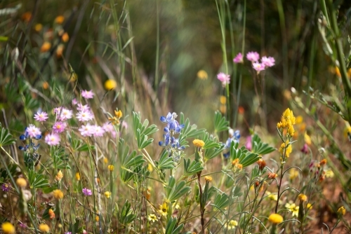 Beautiful mixed wildflowers in Western Australia