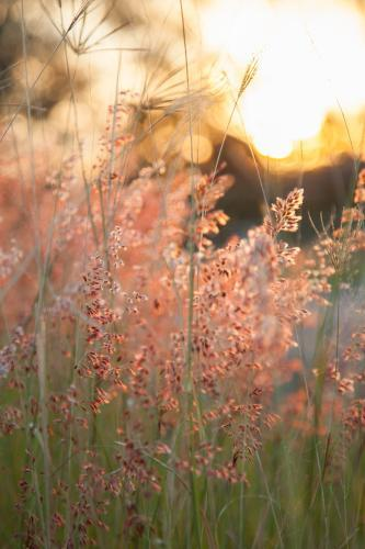 Beautiful pink grass seed heads in the afternoon light