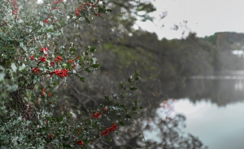 Beautiful tree with red berries beside water