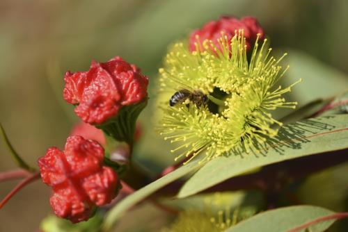 bee with pollen on native flower