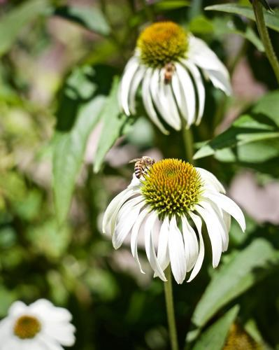 Bees on echinacea flowers