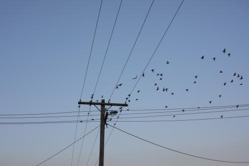 Birds flying from power lines