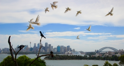 Birds Flying Over the Sydney Harbour