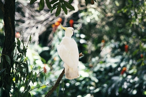 Sulphur-crested white cockatoo sitting on a branch
