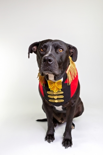 Black Amstaff x dressed as circus ringmaster