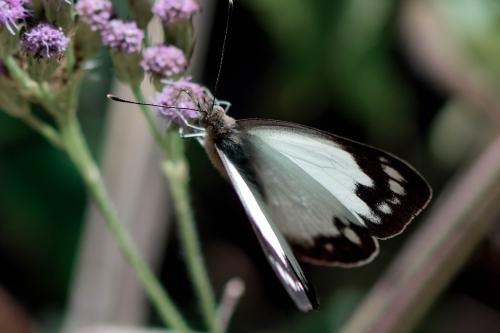 Black and white butterfly on a purple flower