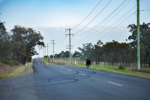 Black cow escaped from the paddock trotting down rural road