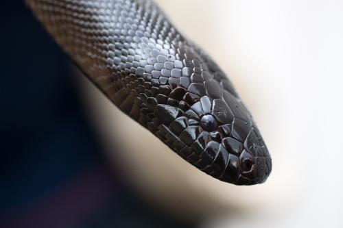 black headed python close-up