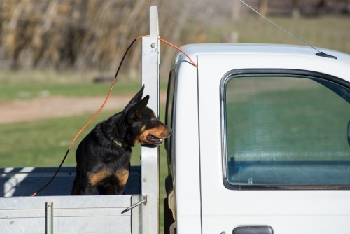 Black kelpie dog on the back of a ute looking  forward