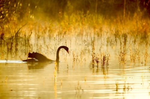 Black Swan swims on lake with foggy golden light.