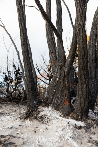 Blackened burnt trees after a bushfire