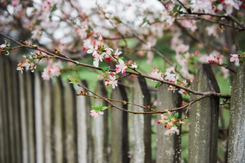 Blossoms with wooden fence