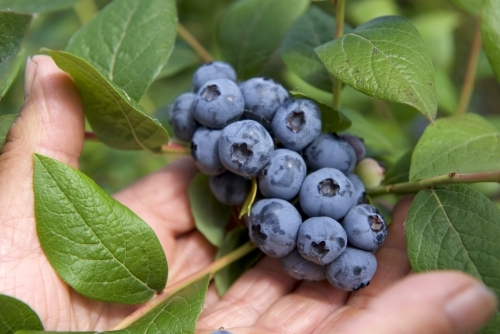 Blueberries on bush with farmers hands