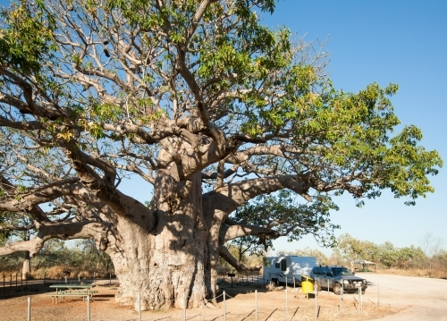 Car and caravan parked at roadside stop with large boab tree