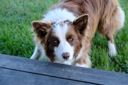 Border collie with brown and blue eyes