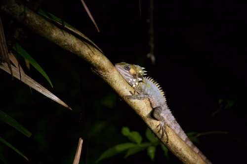 Boyd's Forest Dragon in a tropical forest at night